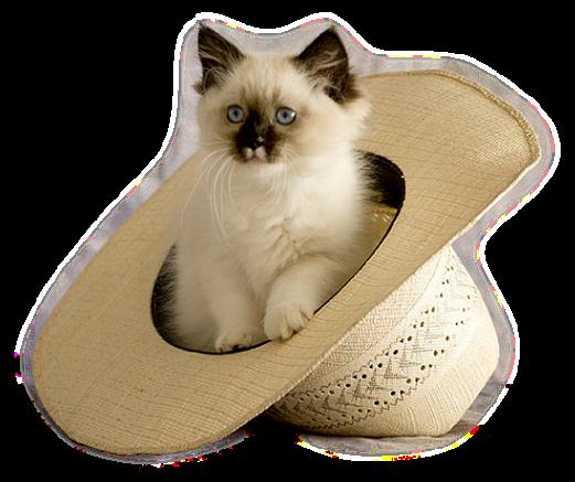 belle image,adorable chat dans chapeau