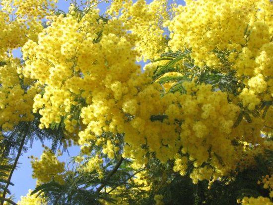 Bonjour jeudi 30 Les-mimosas-4168969989-933863