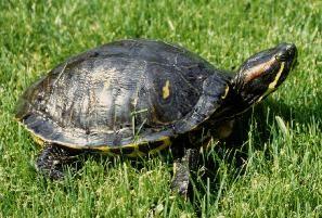 Reinette et sa tortue de floride - Bassin tortue floride strasbourg ...